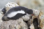 Gentoo Penguin Chick Who Sleeps On The Rocks Near The Colony