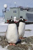 Male And Female Gentoo Penguins At The Nest On The Background Of The Antarctic Research Station