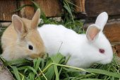 On The Grass Two Of The Rabbit .