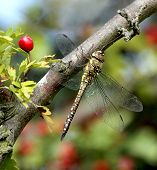 Migrant Hawker Dragonfly female