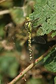 Southern Hawker Dragonfly female