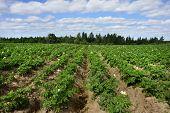 Potato field with blue sky