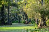 picture of bayou  - Long shadows engulf swamp scene with spanish moss hanging from forest of cypress trees on edge of algae - JPG