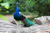 Indian Peafowl On A Branch
