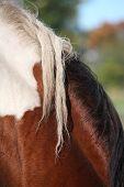 Skewbald Horse Mane  Close Up