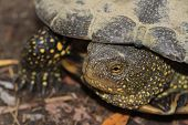 Freshwater Turtle With Yellow Spots Close Up
