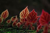 stock photo of begonias  - Red leaves of Begonia flowers at National Park PhitsanulokThailand - JPG