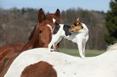 Brave Parson Russell Terrier Standing On Horse Back