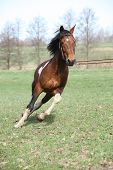Beautiful Pinto Stallion Running Away