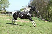 Amazing Paint Horse Stallion With Long Mane