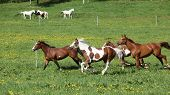 stock photo of paint horse  - Batch of beautiful horses running on spring pasturage - JPG