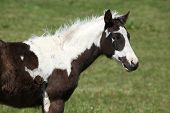 picture of paint horse  - Nice paint horse foal looking at you on pasturage - JPG