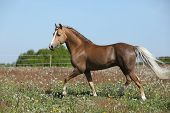 Gorgeous Stallion Running On Spring Pasturage