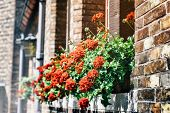picture of geranium  - Old house facade decorated with red geranium - JPG