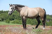 Beautiful Grey Horse With Bridle In Flowered Nature