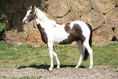 Nice Spotted Pony