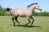 Nice Grey Horse Running On Pasturage