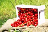 Sweet cherries on crate with sackcloth on glade