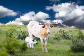 pic of texas-longhorn  - Female Longhorn cow grazing in a Texas pasture with her newborn calf - JPG