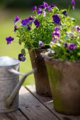 Violet Bloom In Flowerpot Next To Galvanized Watering Can