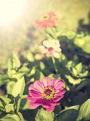 Vintage Zinnia Flower, Nature Background.