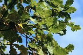 Oak Leaves And The Blue Sky