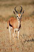 Springbok antelope (Antidorcas marsupialis) standing in grassland, South Africa