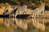 Plains Zebras (Equus burchelli) drinking water, Sabie-Sand nature reserve, South Africa