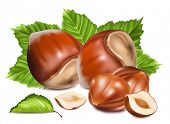 Hazelnuts with leaves. Photo-realistic vector illustration.