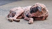 stock photo of scabs  - The dog in Thailand temple is sleeping - JPG