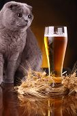 picture of scottish-fold  - Scottish fold cat checking out a glass of light beer