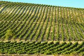 Vineyard In Sunny Day
