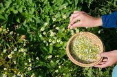Herbalist Hand Pick Camomile Herbal Flower Blooms