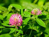stock photo of red clover  - Blooming meadow clover with big red flowers - JPG
