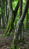 Two Twin Slanted Hornbeam Trees In Stand