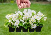 foto of begonias  - Hand holds container of the white blossom begonia in the garden - JPG