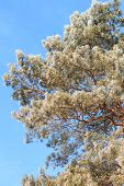 Frosted Pine Tree At Sunny Winter Morning Over Blue Sky