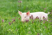 Piglet On Grass