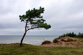 Young Pine Tree On A Cliff By The Sea In Bad Weather