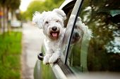 image of car-window  - Young dog  - JPG