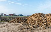foto of sugar industry  - A great heap sugar beets deposited on a concrete platform at the edge of a Dutch field waiting for transport to the sugar factory - JPG