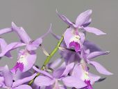Lindley's Barkeria Orchid