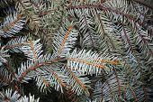 Spruce Branches, Natural Closeup Photo Background