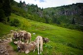 Cows In The Mountainsf