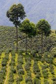 stock photo of darjeeling  - Landscape and famous Tea plantation Darjeeling India - JPG