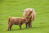 Постер, плакат: Family on the Meadow Scottish Cattle and Calf