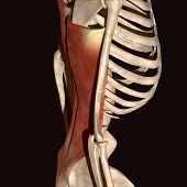 Постер, плакат: Human body skeleton muscle