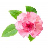Blooming Beautiful Pink Impatiens Flowers Is Isolated On White Background, Closeup