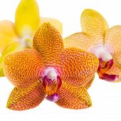 Twig Of Pointed Orange Orchid Is Isolated On White Background, Closeup