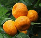picture of tangerine-tree  - Ripe tangerines on a tree and green leaves